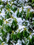 Sneeuw afgedekte struik royalty-vrije stock foto's