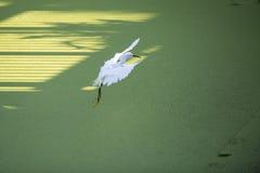 Sneeuw aigrette (thula Egretta) Stock Afbeelding