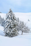 Sneeuw Alpiene Boom op een Oorspronkelijke de Winterdag Stock Fotografie