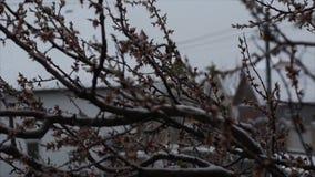 Sneeuw in April Abnormaal fenomeen Een tak van een bloeiende abrikoos in de sneeuw stock video
