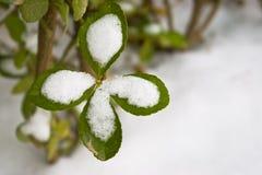 Sneeuw behandeld blad Royalty-vrije Stock Fotografie