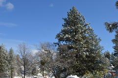 Sneeuw Behandeld San Bernardino Mountain Forest stock foto