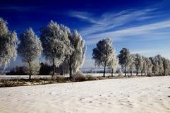 Sneeuw behandelde berkbomen stock foto