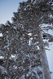 Sneeuw Behandelde Bomen Stock Afbeelding