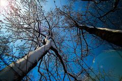 2 sneeuw behandelde Bomen die de blauwe hemelachtergrond richten Stock Afbeelding