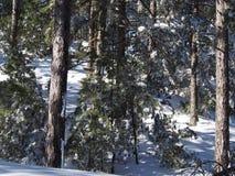 Sneeuw behandelde bomen in het bos royalty-vrije stock afbeelding