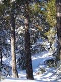 Sneeuw behandelde bomen in het bos Stock Foto's
