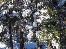 Sneeuw behandelde bomen in het bos Stock Afbeeldingen