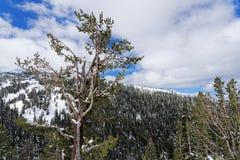Sneeuw behandelde bomen in het Nationale Park van Yellowstone stock fotografie