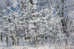 Sneeuw behandelde bomen net na een grote sneeuwval Stock Fotografie