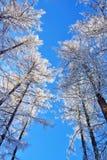 Sneeuw behandelde bomen op blauwe hemel Royalty-vrije Stock Afbeeldingen