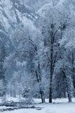 Sneeuw behandelde bomen in Yosemite-Vallei Stock Foto