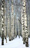 Sneeuw behandelde boomstammen van berkbomen in zonnig weer stock foto's