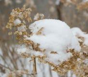 Sneeuw behandelde hydrangea hortensia royalty-vrije stock foto