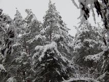 Sneeuw behandelde kroon van lange pijnbomen stock afbeeldingen