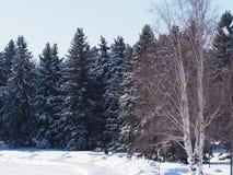 Sneeuw behandelde nette bomen Royalty-vrije Stock Afbeeldingen