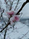 Sneeuw behandelde perzikbloesems Royalty-vrije Stock Afbeeldingen