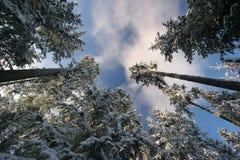 Sneeuw behandelde pijnbomen Stock Fotografie