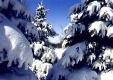 Sneeuw behandelde pijnbomen stock foto