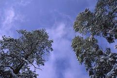 Sneeuw behandelde pijnbomen tegen hemel Royalty-vrije Stock Foto