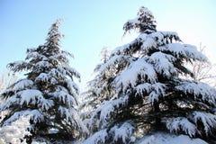 Sneeuw behandelde pijnboom Stock Foto