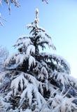 Sneeuw behandelde pijnboom Royalty-vrije Stock Foto
