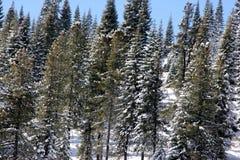 Sneeuw behandelde Pijnboombomen op Kerstmisdag in Shasta-Bergen Stock Fotografie