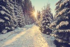 Sneeuw behandelde pijnboombomen op zonsondergang Royalty-vrije Stock Afbeeldingen