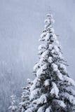 Sneeuw behandelde pijnboomboom Royalty-vrije Stock Foto's