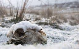 Sneeuw behandelde schapenschedel in Elan vallei Wales royalty-vrije stock foto