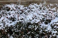 Sneeuw behandelde struik in Cambridge Stock Afbeeldingen