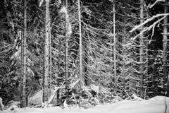 Sneeuw Behandelde Takken en Backlight Stock Foto