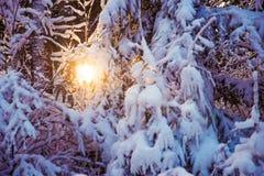 Sneeuw Behandelde Takken en Backlight Stock Foto's