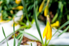 Sneeuw-beklede gele narcissen Royalty-vrije Stock Fotografie