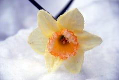 Sneeuw Bestrooide Gele narcis Royalty-vrije Stock Afbeelding