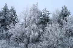 Sneeuw bomen Stock Foto