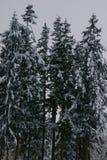 Sneeuw bomen royalty-vrije stock afbeeldingen