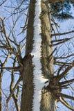 Sneeuw boom Stock Afbeeldingen