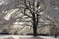 Sneeuw boom Royalty-vrije Stock Afbeelding