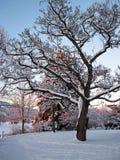 sneeuw boom Royalty-vrije Stock Afbeeldingen