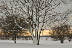 Sneeuw Boom bij Zonsondergang Stock Fotografie