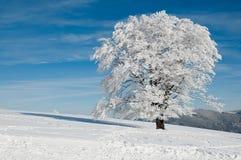 Sneeuw boom op een zonnige dag Stock Afbeeldingen