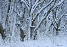 Sneeuw in bos royalty-vrije stock fotografie
