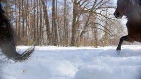 Sneeuw bosa-vrouw die een donker paard berijden op een sneeuwgrond stock videobeelden