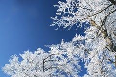 Sneeuw brunches Stock Foto