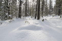 Sneeuw de winterbos Royalty-vrije Stock Foto's