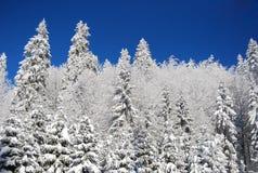 Sneeuw Dennenbos Stock Afbeelding