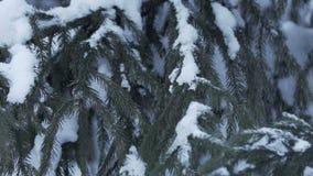 Sneeuw die bij de Langzame motie van sparrentakken vallen stock footage