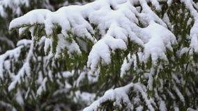 Sneeuw die op de sparren, langzame motie vallen stock videobeelden