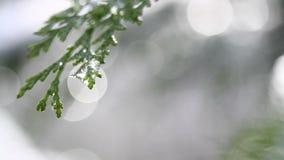 Sneeuw die op knoppen op takken van de winterbomen smelten Close-up van waterdalingen van smeltende sneeuw over vage bomenachterg stock video